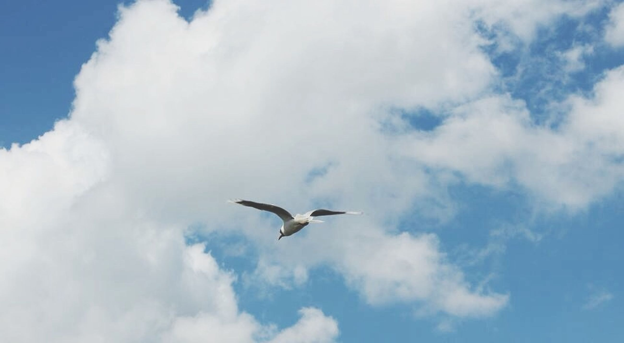 bird, animal themes, animals in the wild, flying, wildlife, low angle view, sky, spread wings, seagull, one animal, cloud - sky, mid-air, nature, blue, cloud, beauty in nature, cloudy, day, outdoors, no people