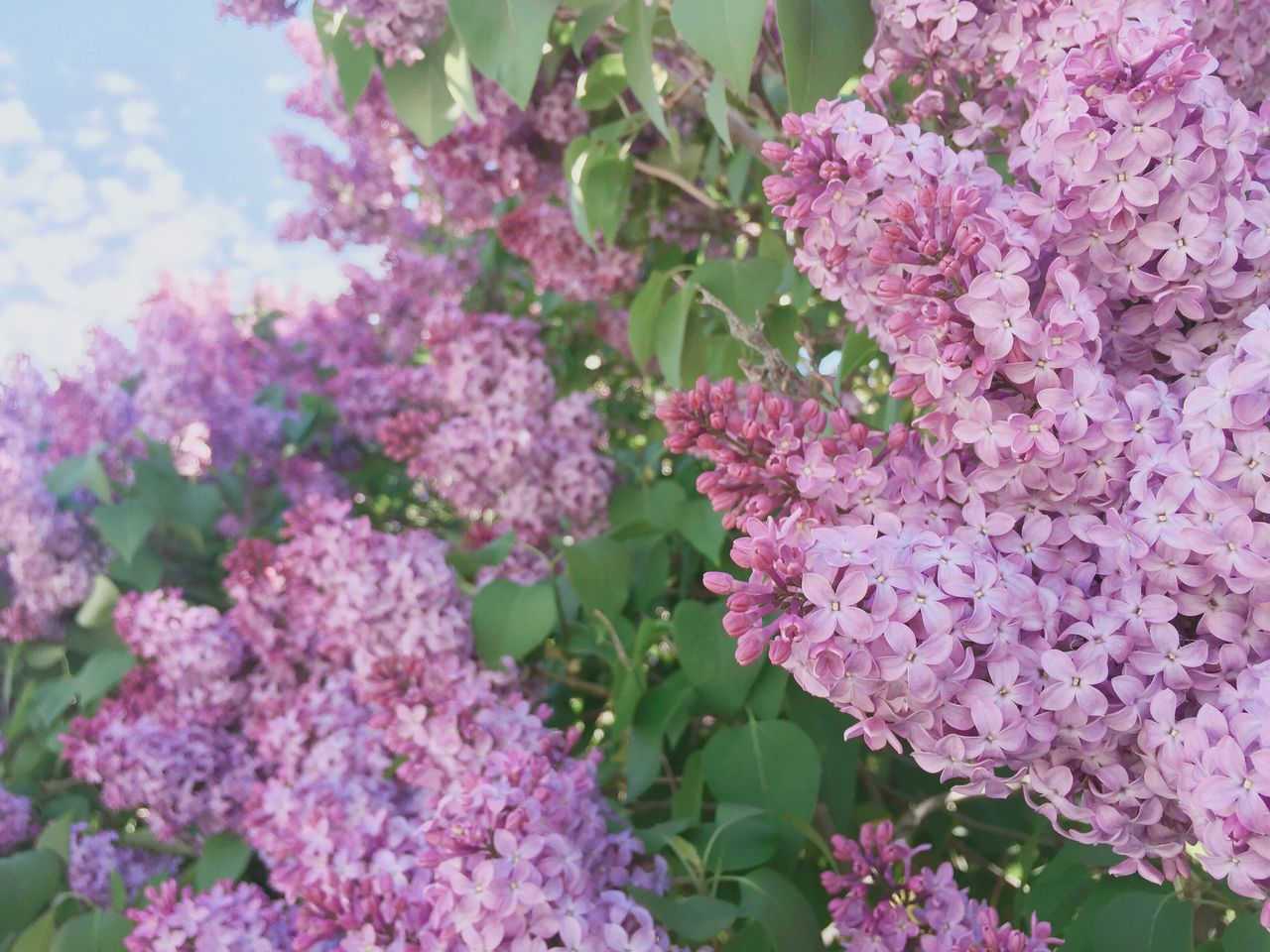 Growth Flower Plant Beauty In Nature Nature Fragility Freshness Pink Color No People Lilac Outdoors Leaf Day Blooming Close-up Flower Head