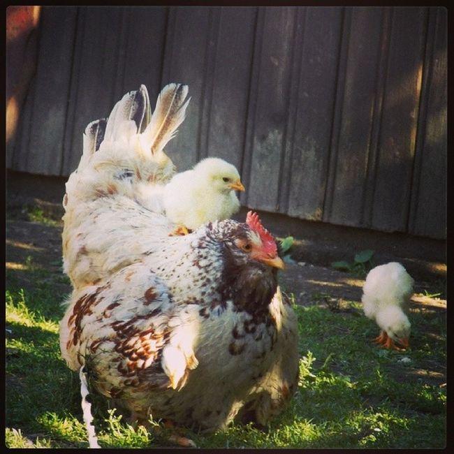 Laaazy Chick  :))