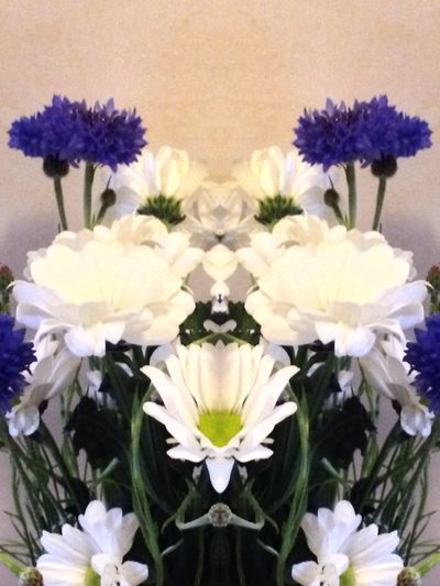 Beauty In Nature Blooming Blue Boquet Close-up Day Distortion Flower Flower Head Fragility Freshness Funwithfilters Growth Indoors  Kaleidacam Nature No People Petal Plant White
