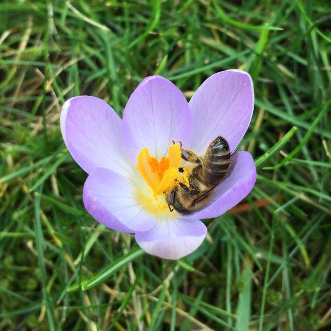 Die ersten Bienen im garten 2016 mit iPhone 6s 😃 Flowers Biene 🐝
