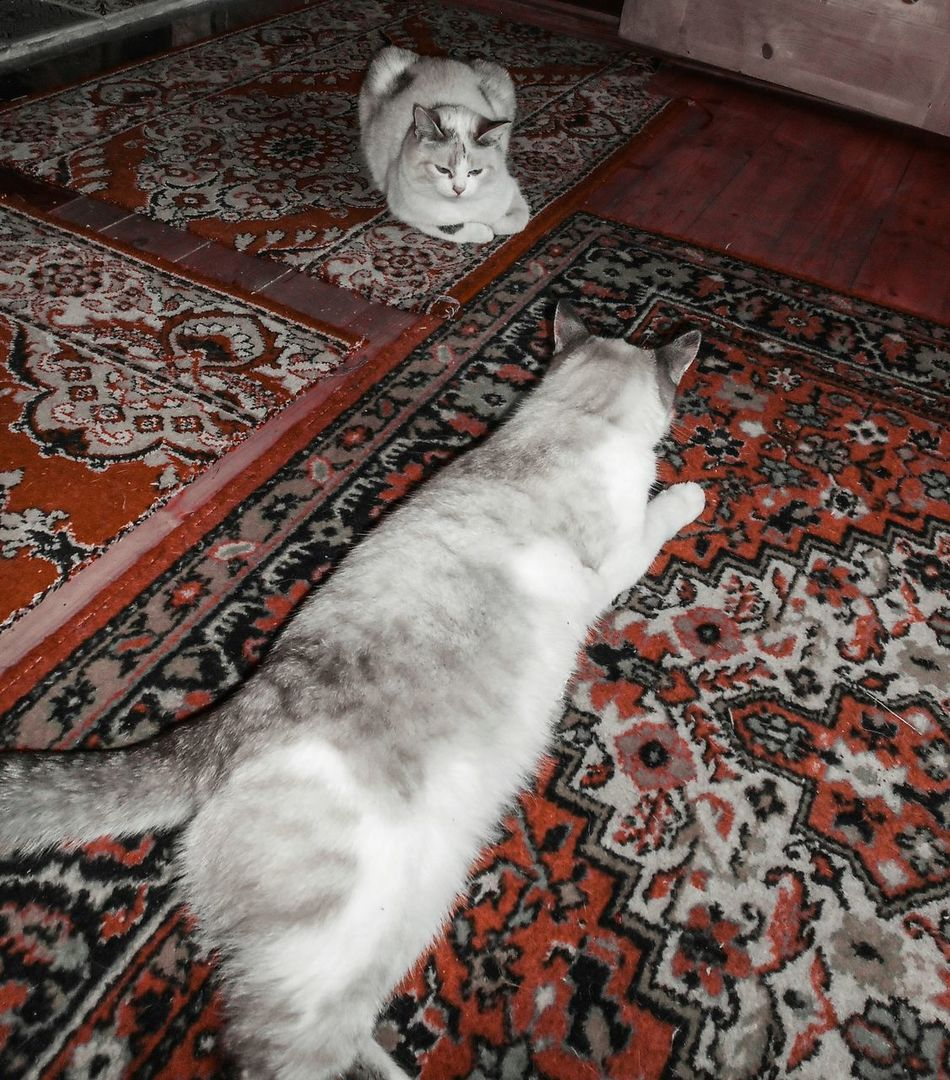 Cats on the Carpet Indoors  No People Cat Feline Red Carmine Russia Russian Rugs Floor Indoors  Winter Laying Down Pets Home Pattern