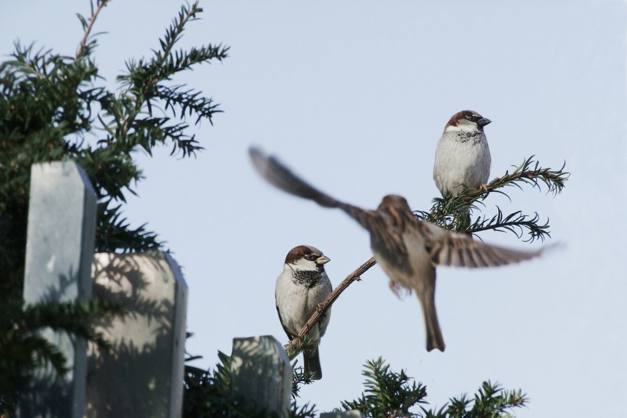 Look Left! Action Bird Bird Photography Branch City City Life Fence FlyBy Flying Flying Bird France Hedge House Sparrow Ignorance Movement Nature Paris Sitting Sparrow Speed Twig Urban Watching Yew