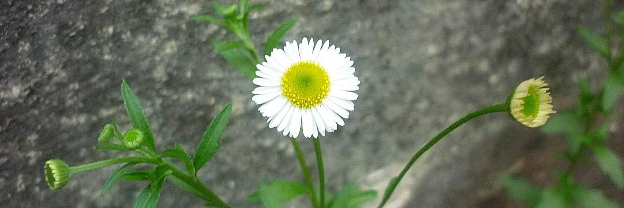 Little Daisy Flowers Nature Beuty Of Nature Rocks White And Yellow Green Alone Time Enyoing Life Little Stuff