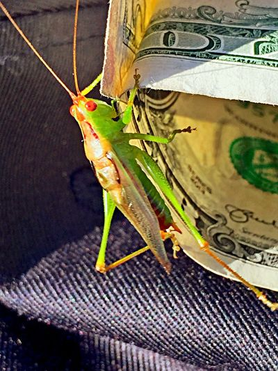 Hitching a ride! Grasshopper Bugs Money Mobilephotography IPhone Photography Insects  IPhoneography Kent Ohio Red Eyes