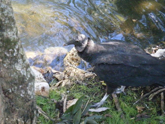 Bird Black Perch Walking
