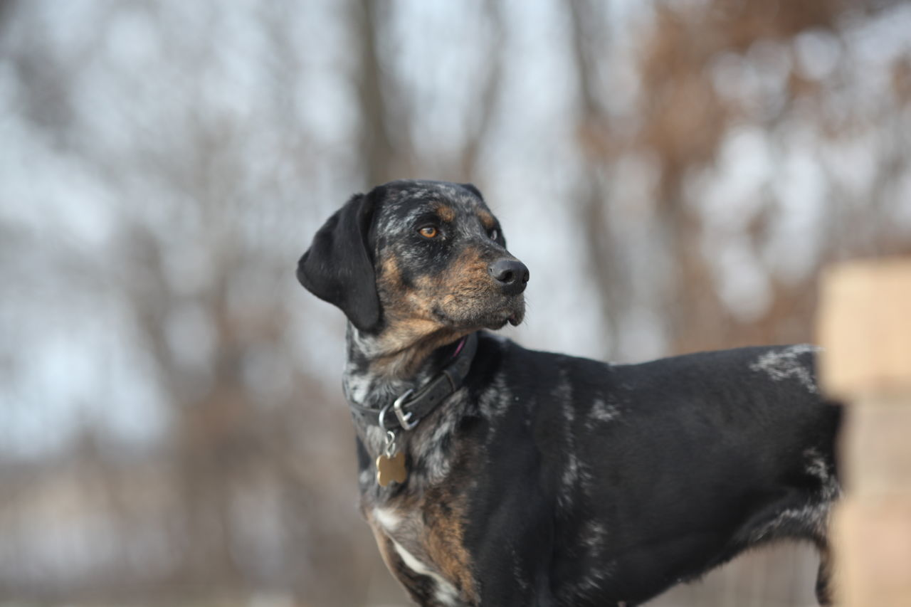 Animal Themes Blue Eyes Blue Heeler Canine Cattle Dog Close-up Country Day Dog Domestic Animals Farm Farm Life Hound Mammal No People One Animal Outdoors Paws Pets Snow
