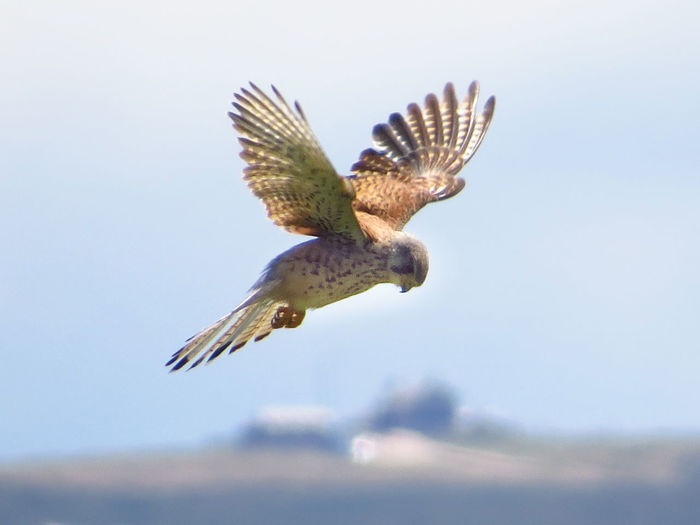 Animal Themes Animal Wildlife Animals In The Wild Beauty In Nature Bird Bird Of Prey Flying Focus On Foreground Kestrel Mid-air Nature No People One Animal Outdoors Spread Wings Windhover
