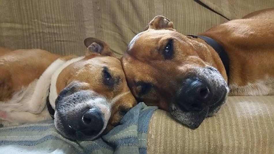 Merging into the comfort of each others souls. Dog Dogs Pet Animal Staffordshirebullterrier Mastiff Cattledog Friends Poppy Chilly Chillen Resting Love Beauty Red