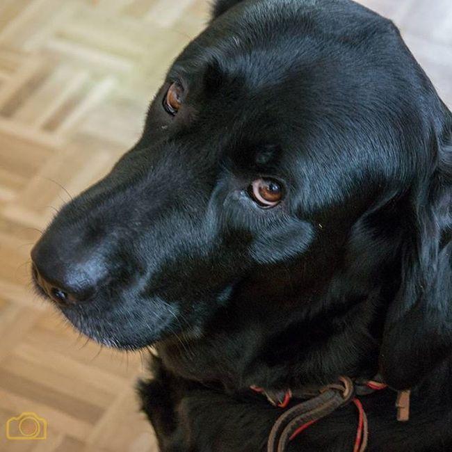 Labrador Labby Blacklab Liebguck Laboftheday Dogsofinstagram Dogs Hund Dummerblick Picoftheday Bestoftheday Labbi Blacklabrador Browneyes Samsung Samsung nx Nx NX300 Samsung NX300