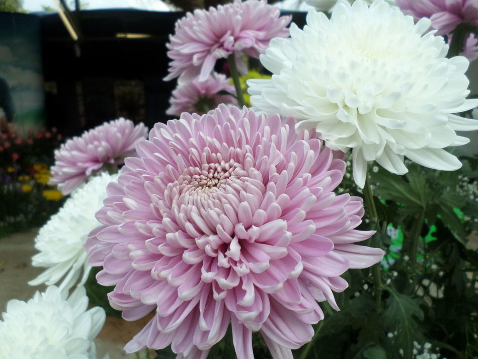 Arrangement Beauty In Nature Bouquet Chrysanthemum Close-up Dahlia Day Florist Flower Flower Head Flower Market Flower Shop Fragility Freshness Growth Nature No People Outdoors Petal Pink Color Plant Retail