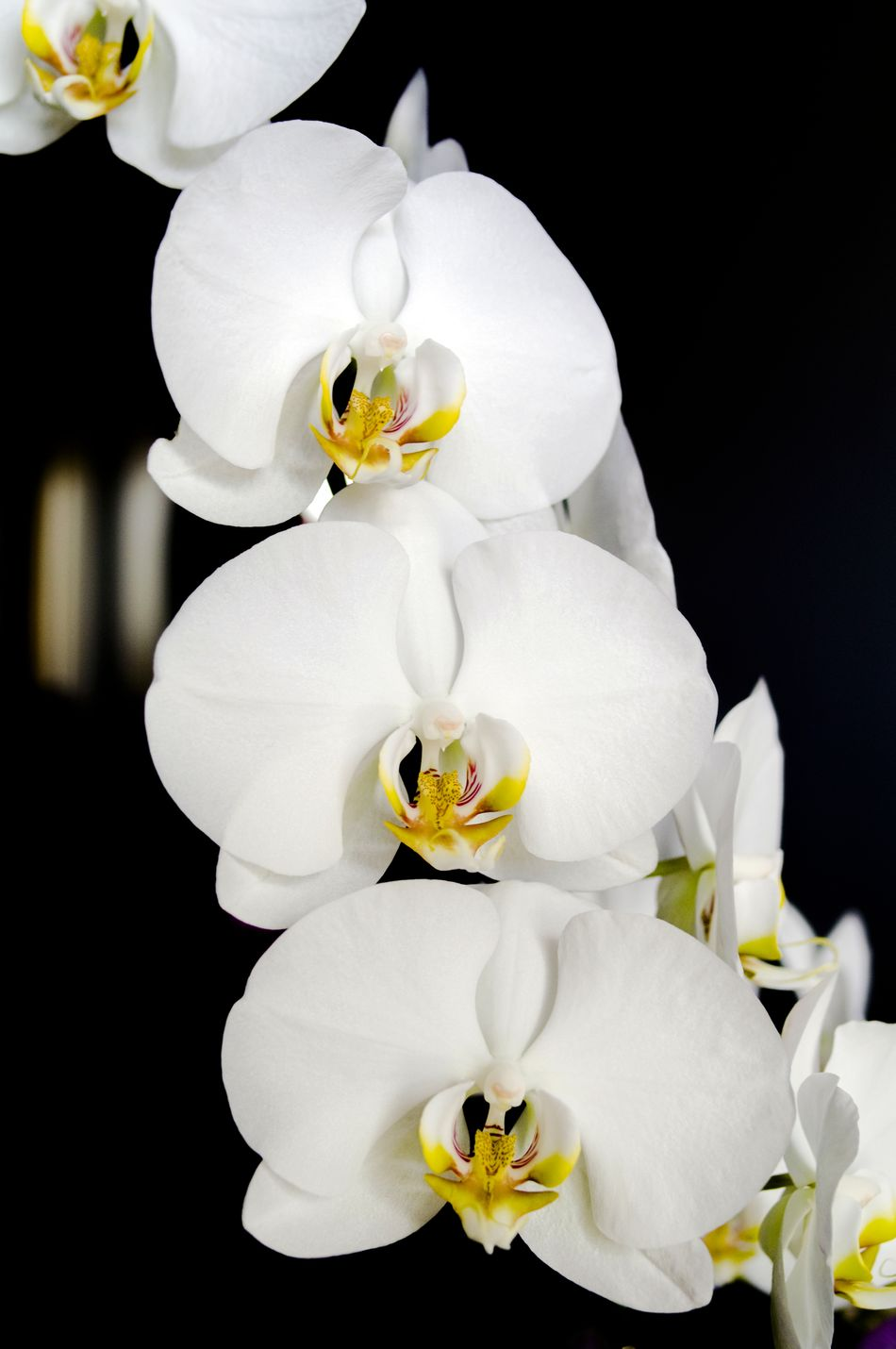 Beauty In Nature Black Background Blooming Close-up EyeEm Best Shots EyeEm Gallery EyeEm Nature Lover Flower Flower Head Fragility Freshness Growth Nature No People Orchid Orchid Blossoms Orchids Petal White Color
