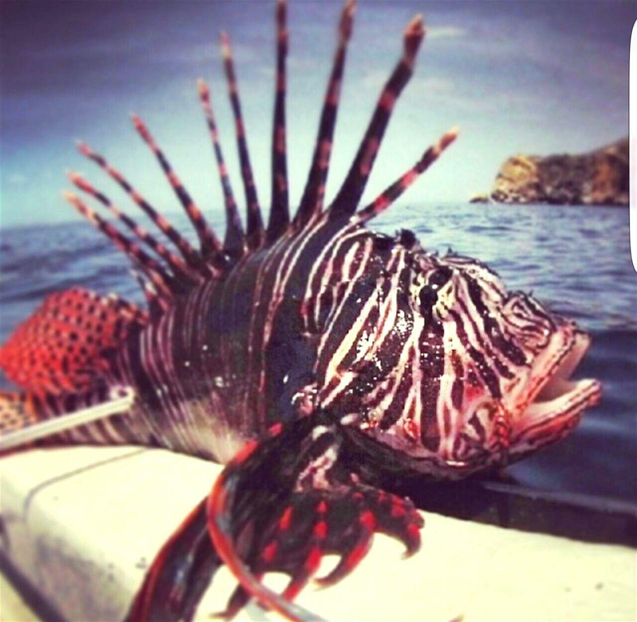 The Great Outdoors - 2017 EyeEm Awards Pezleon One Animal Seafood Water PescaSubaquática Spearfishing Seascape Photography Cumaná Mochima Underwater UnderSea