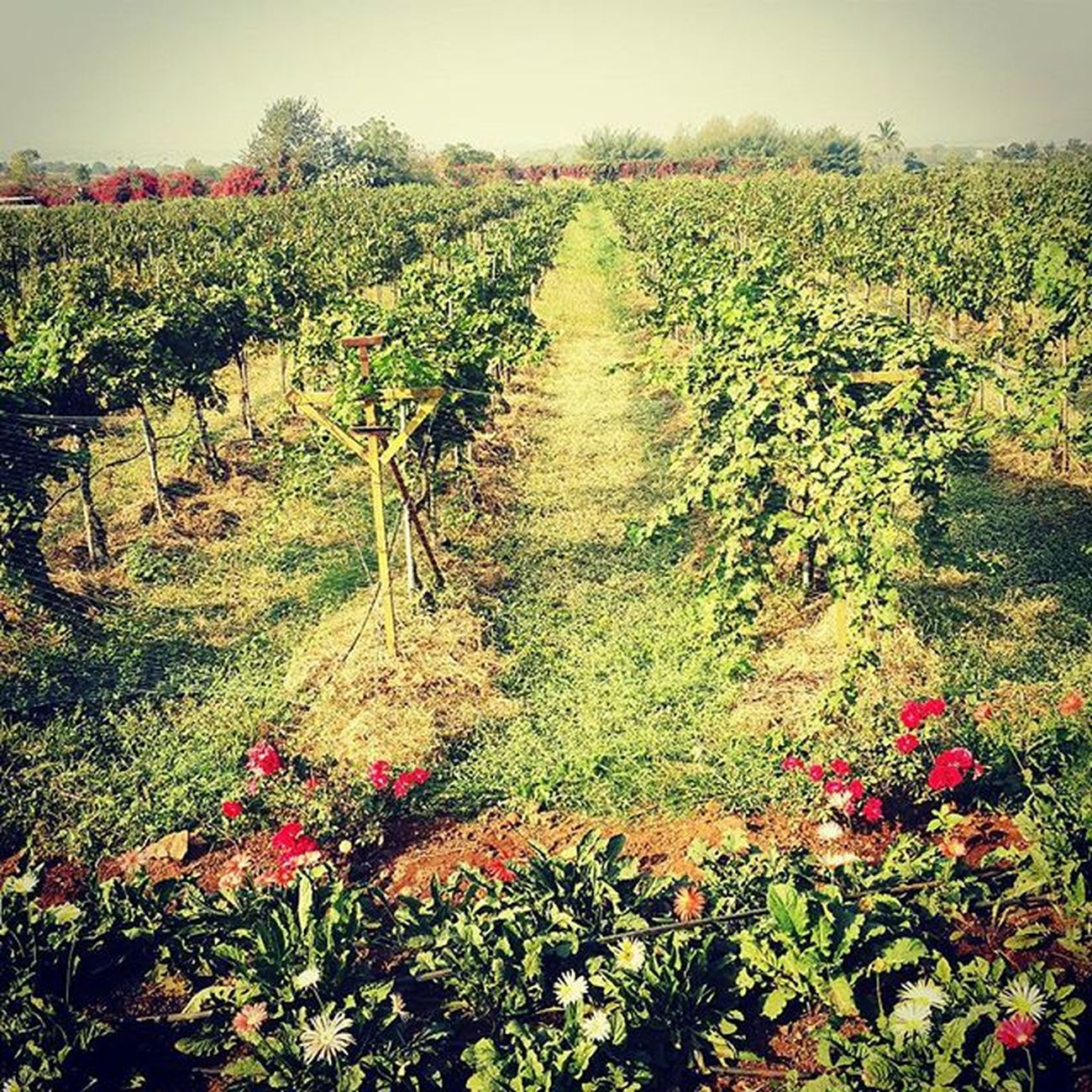 First visit to a vineyard 🍇🍇 Vscocam VSCO Vscoartist Vscogrid Vscogram India_gram Indiapictures Mumbai_igers _soi Instaclick Picoftheday Indianphotographersclub India Indiatravelgram Incredibleindia Streetsofindia Igersofindia Maharashtra_ig Sula Wineyard Wine Traveldiaries Travel