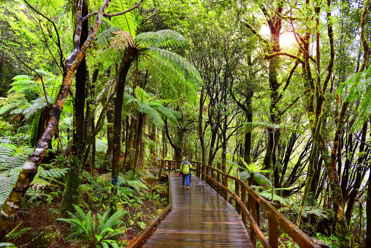 Walkway the jungle in Milford sound ,New Zealand Fiordland Beauty In Nature Day Forest Forestwalk Green Color Lush - Description Milford Sound National Park Collection Nature New Zealand Outdoors People Rain Forest The Way Forward Tourism Tranquility Travel Destinations Tree
