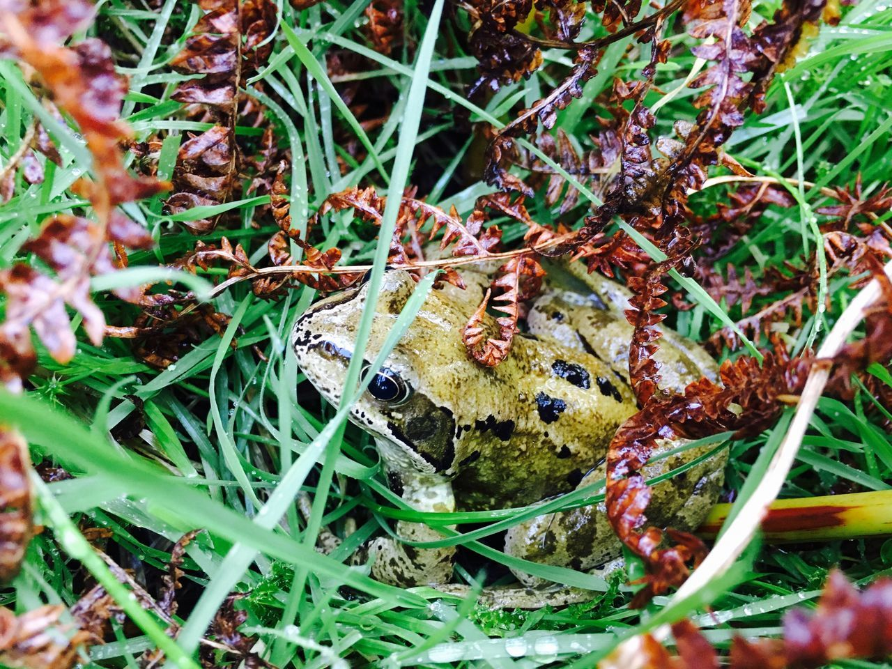Frog Nature Animals In The Wild One Animal Outdoors Grass Beauty In Nature Close-up Green Color Green Amphibian