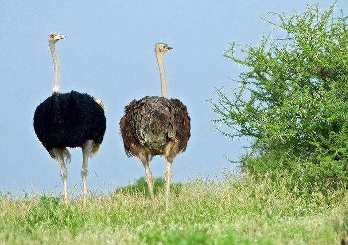 African Safari Animals In The Wild Beauty In Nature Bird Clear Sky Green Color Nature No People Ostrich Pair Of Birds Rear View