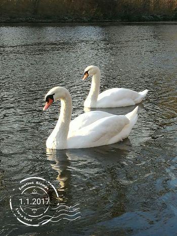 Schwäne Rheinaue Water Lake Nature Outdoors Beauty In Nature Animal Themes Ice Bonn