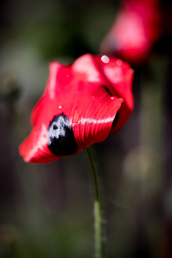 Beauty In Nature Black And Red Blackandred Close-up Day Flower Flower Head Focus On Foreground Fragility Freshness Growth Macro Photography Macroflower Nature No People Outdoors Petal Plant Poppy Red RedFlower Remembrancepoppy