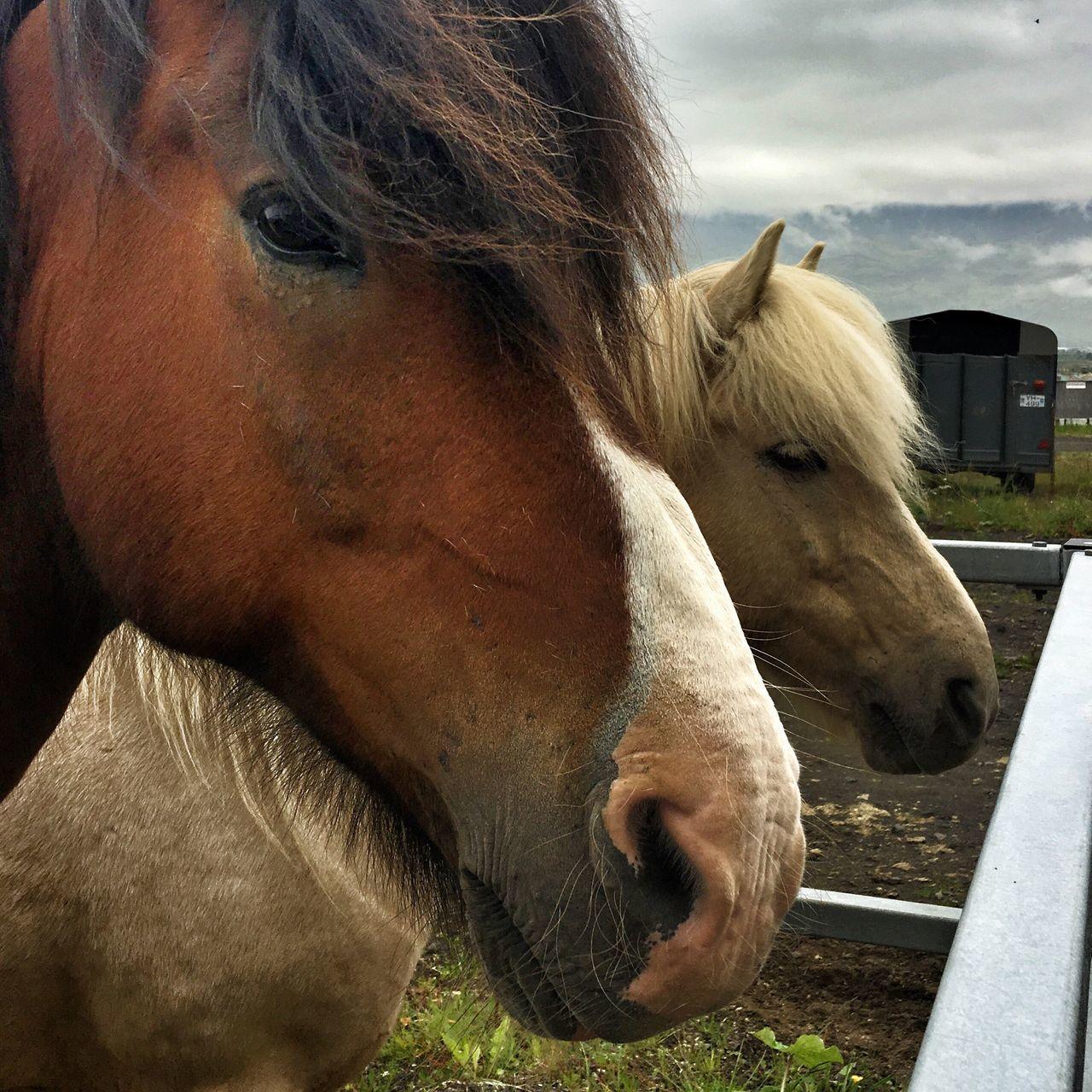 horse, domestic animals, animal themes, livestock, one animal, mammal, animal head, herbivorous, day, outdoors, field, close-up, portrait, no people, sky