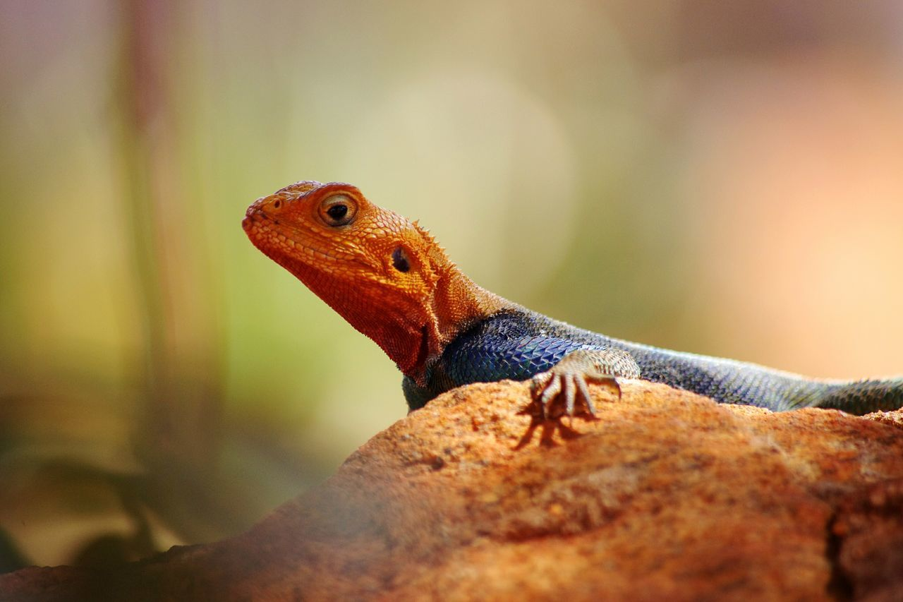 Reptile Lizard Animals In The Wild No People Close-up Outdoors Nature Africa Kenya Tsavo