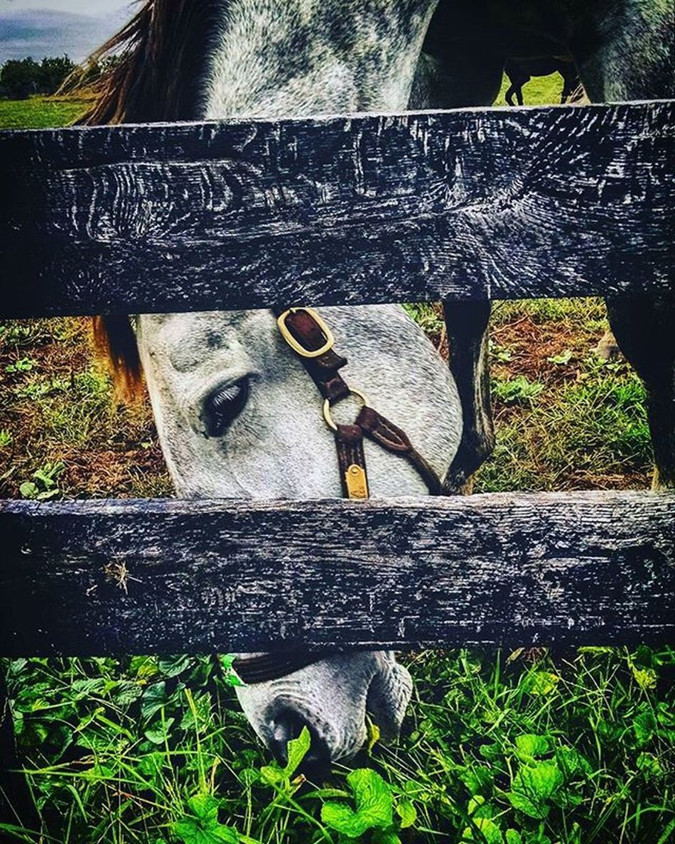 Just a day to Graze on this Cool and Cloudyday at RamseyFarm Selfie Fall Farms Thoroghbred Selfies Autumn Farm Thoroghbredracing Kentucky