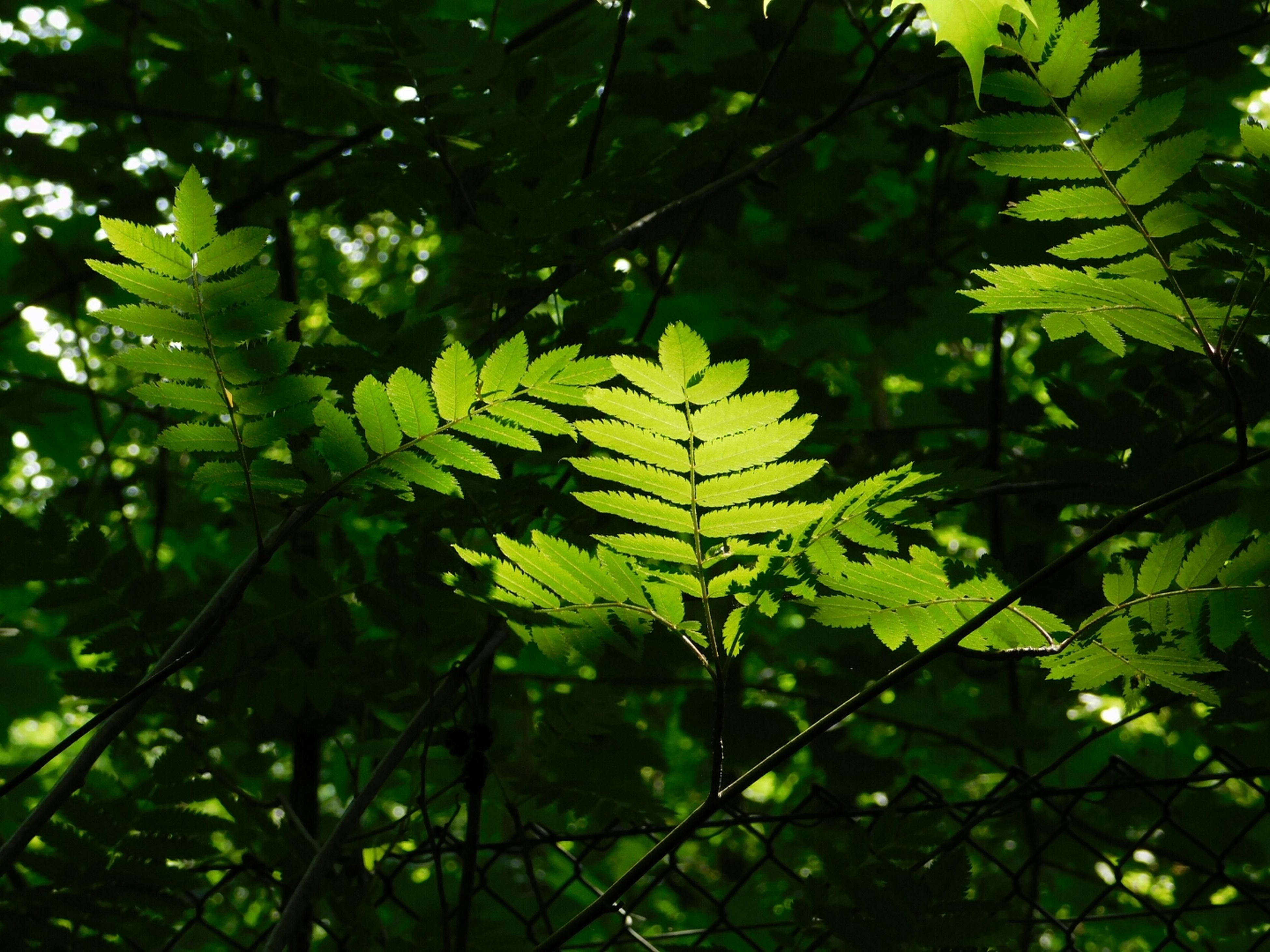 leaf, growth, green color, branch, tree, nature, plant, low angle view, beauty in nature, close-up, freshness, outdoors, green, lush foliage, tranquility, day, no people, sunlight, focus on foreground, growing