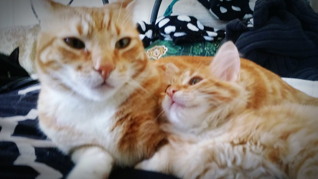 Uncle Prettyboy and lil nephew💛💚💛 kitty love Hanging Out Check This Out Taking Photos Cheese! Relaxing Hi! Hello World Hayward Ca Bay Area Beautiful Kitties Animals Fluffy Catstarcat Cat Eyes Catlovers Loveallanimals Animal Photography Gingercatsofinstagram Gingercatsrule Catsofeyeem Pawsome ❤️🔥❤️ Paws And Purrs 43 Golden Moments Two Is Better Than One