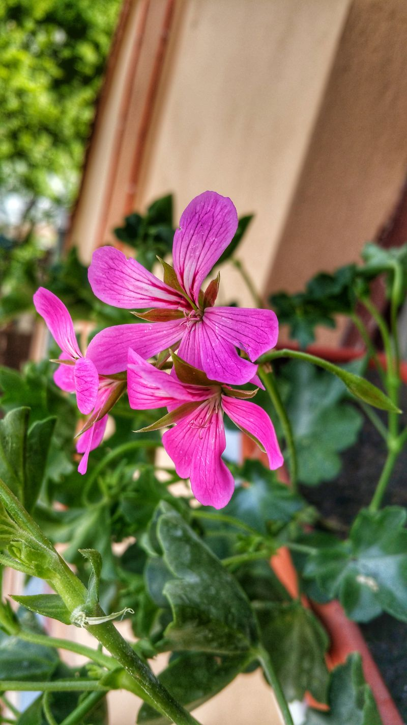 Plant Flower Pink Color Nature Close-up Leaf Day Outdoors Fragility Beauty In Nature Freshness Flower Head No People Pelargonium Pelargonium Peltatum Pelargonium Grandiflorum Pelargonium Flowers Pelargonium Calliope Pelargonium Vases Pelargonium Graveolens