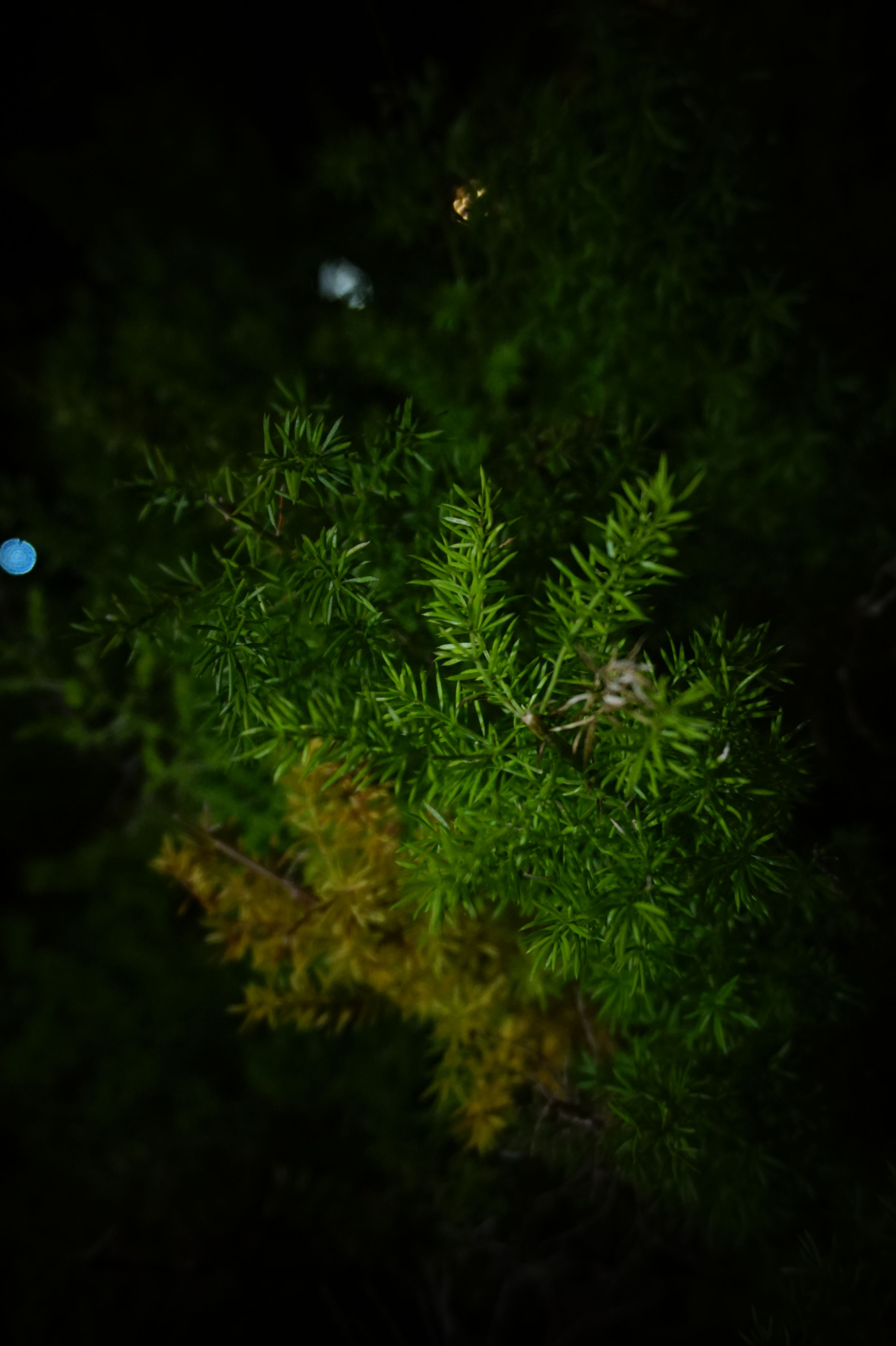 nature, tree, green color, growth, leaf, no people, beauty in nature, night, plant, close-up, outdoors, branch, coniferous tree, needle - plant part, sky