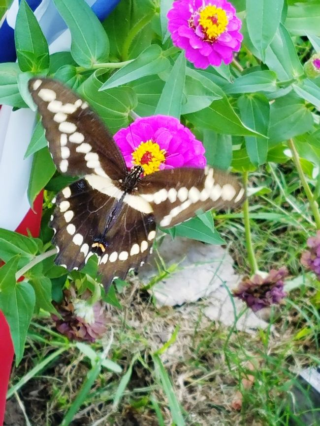 Flower Fragility Freshness Petal Flower Head Beauty In Nature Nature Flowers, Nature And Beauty Texaslife Vibrant Color Butterfly ❤ Butterfly Collection Butterfly Outdoors