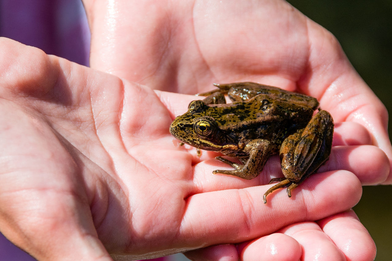 Animal Themes Animal Wildlife Animals In The Wild Close-up Day Frog Holding Human Body Part Human Finger Human Hand Leisure Activity Lifestyles Nature One Person Outdoors Palm Real People Reptile Unrecognizable Person