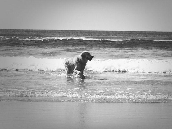 Mydog♡ Goldenretriever Praia
