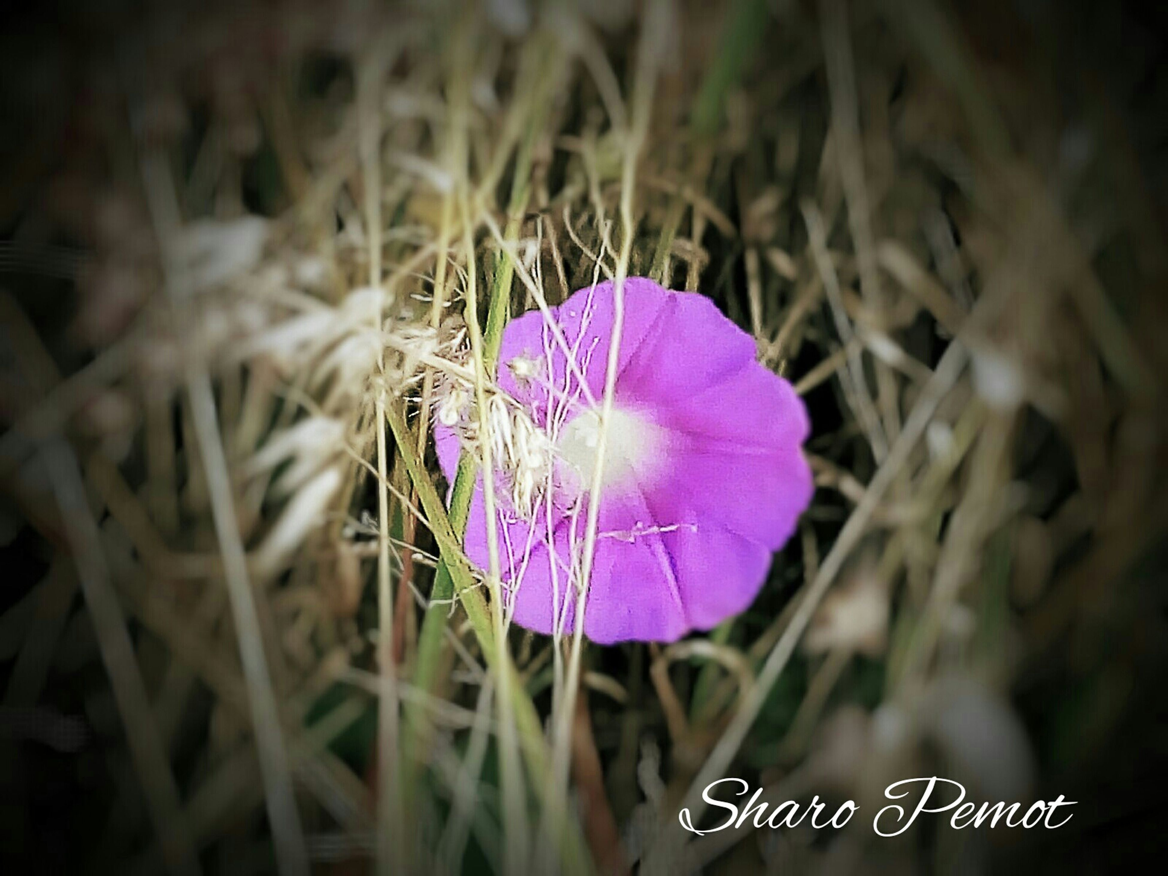 flower, purple, fragility, close-up, growth, freshness, flower head, focus on foreground, petal, beauty in nature, single flower, nature, plant, pink color, field, selective focus, stem, outdoors, no people, day
