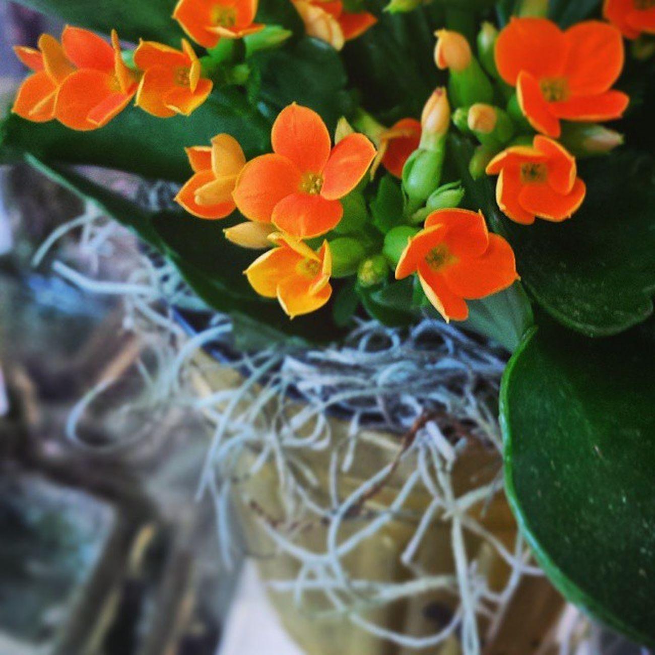 Pretty little orange Kalanchoe . Plants Nature Flowers