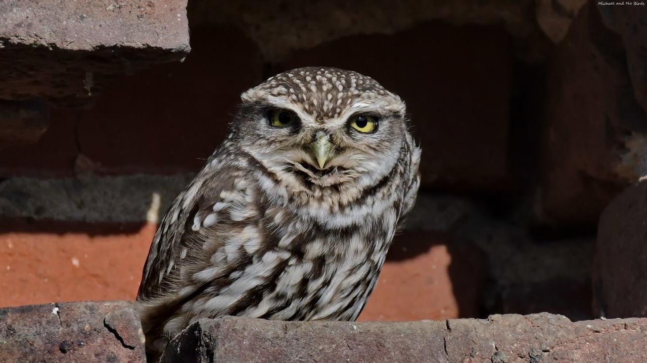 Ein Steinkauz Bird Bird Of Prey Animals In The Wild Naturfotografie Vogel Nature Photography Bird Photography