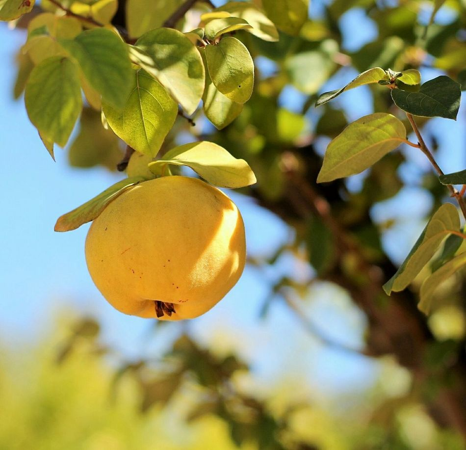 Beautiful stock photos of apple, Apple, Clear Sky, Close-Up, Day