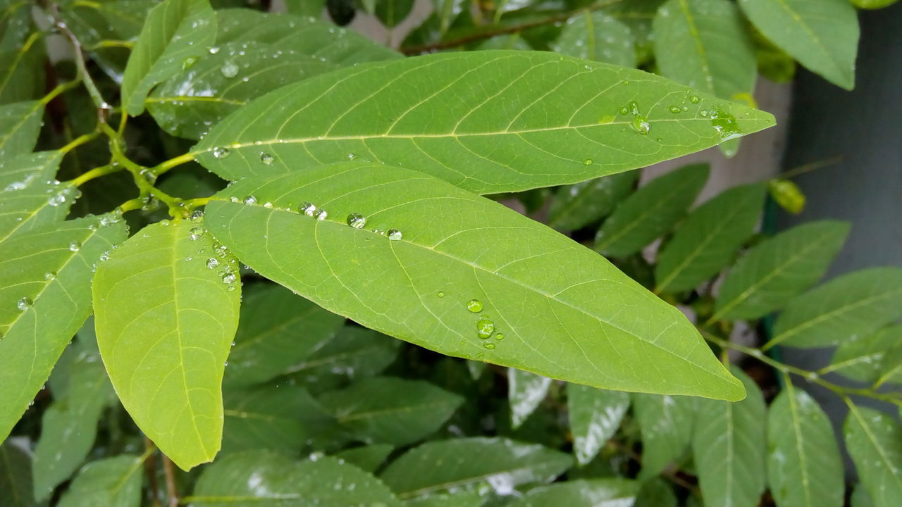 Leaf Close-up Green Color Leaf Vein Growth Leaves Nature Plant Freshness Beauty In Nature Full Frame Fragility Day Focus On Foreground Outdoors Large Tranquility Green Botany Lush Foliage Rain Drops Rain Drops On Leaves