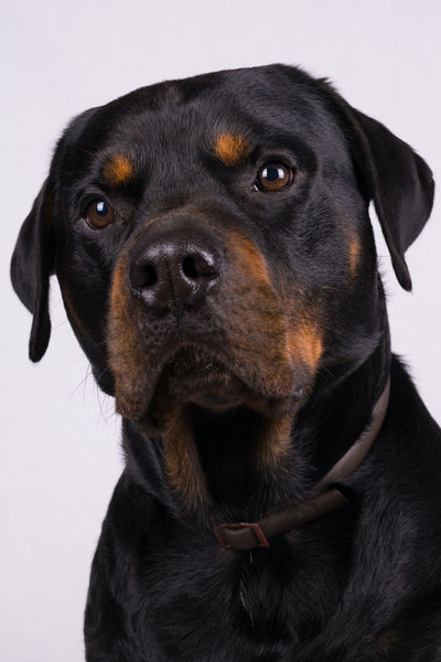 Blade. Rottie Animal Themes Black Color Close-up Dog Domestic Animals Gentle Loyalty Mammal Mansbestfriend No People One Animal Pets Portrait Rottweiler Rottweilerlove Studio Shot White Background