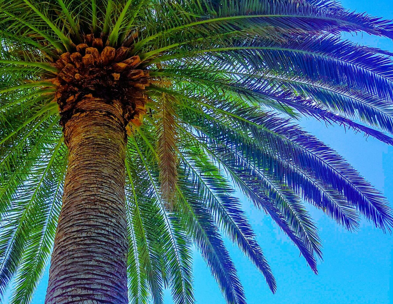 palm tree, tree, low angle view, tree trunk, growth, palm leaf, nature, beauty in nature, green color, sky, outdoors, no people, day, leaf, blue