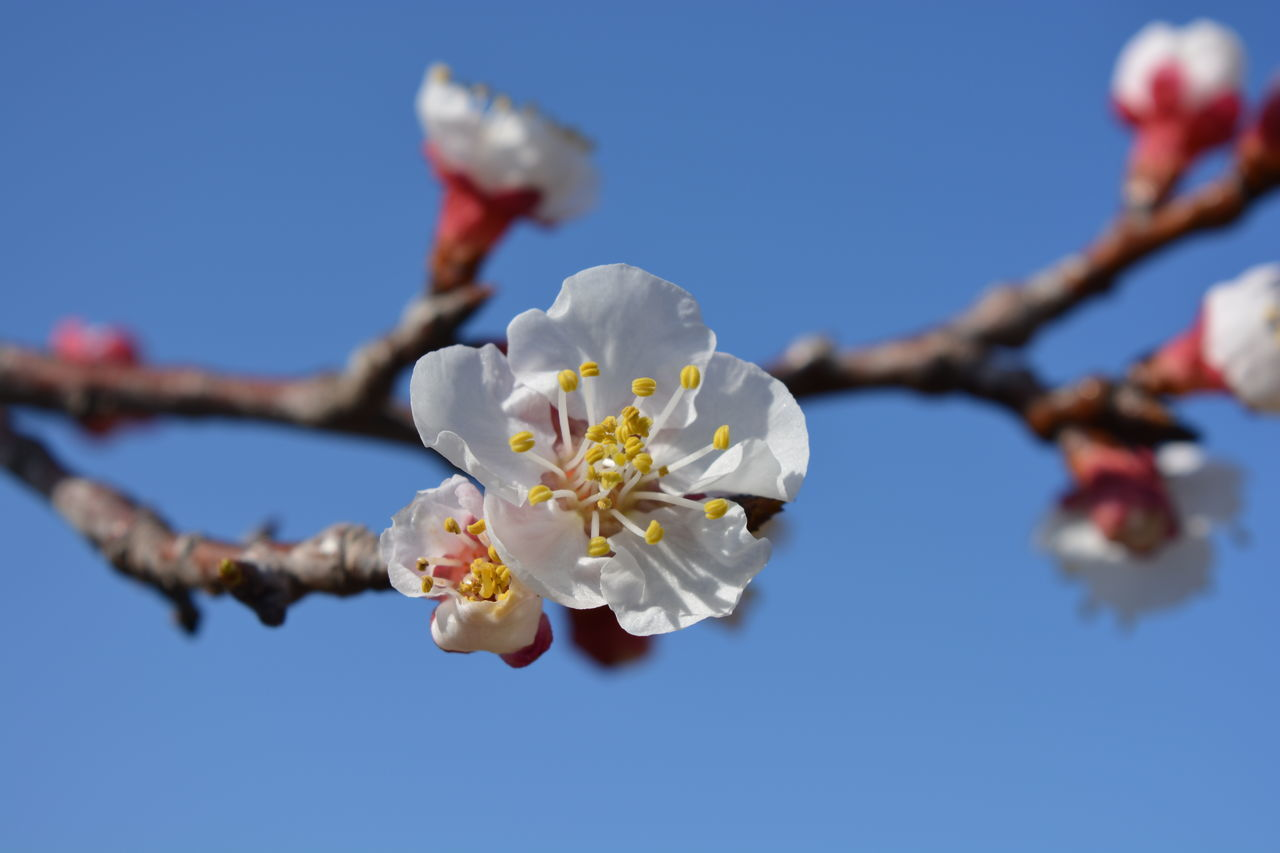 Apricot blossom against blue sky Apricot Blossom Apricot Tree Beauty In Nature Blossom Branch Close-up Day Flower Flower Head Fragility Freshness Growth In Bloom Nature No People Outdoors Petal Pollen Prunus Armeniaca Sky Springtime Stamen Tree Twig White Color