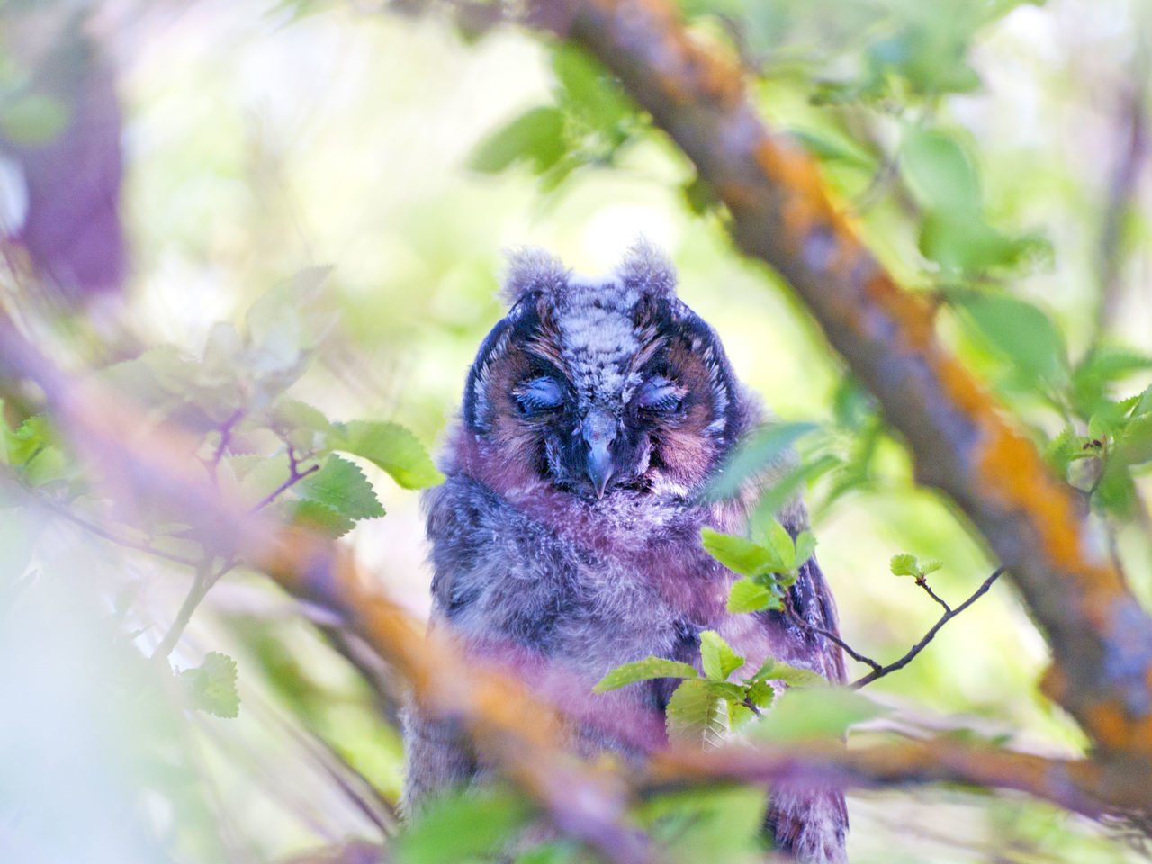 Animal Portrait Animal Themes Animals In The Wild Asio Otus Beauty In Nature Bird Bird Of Prey Birds Camouflage Camouflage Animals Close-up Day Environment Long-eared Owl Nature No People One Animal Outdoors Owl Owl Eyes Owls Perching Perching Bird Tree Wildlife