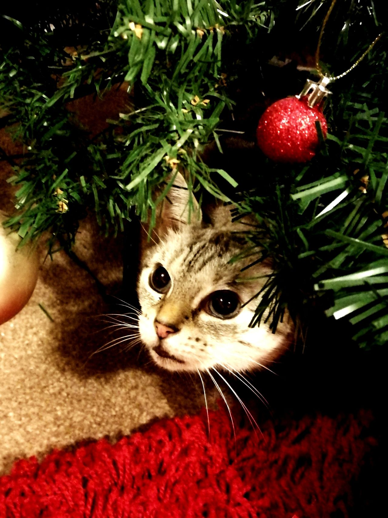 Domestic Cat Pets Looking At Camera Feline Whisker Indoors  Close-up Domestic Animals Love Cat Cat Photography Kitty Fur Baby Cat Lovers Cute Christmas Tree Christmas Christmas Bauble Bauble One AnimalCat In Christmas Tree Christmas Cat Meowychristmas Playful Cat AdoptDontShop