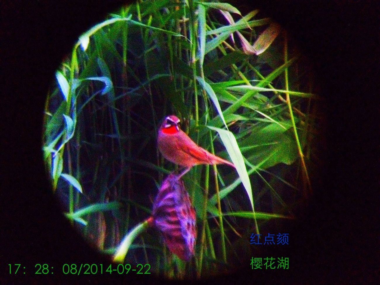 红点颏 在阴云雾霾暗淡的黄昏中的生命 Hello World