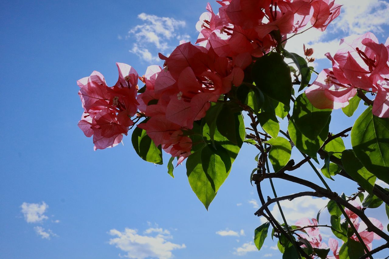 flower, beauty in nature, petal, fragility, nature, growth, freshness, day, sky, outdoors, no people, leaf, flower head, blooming, low angle view, pink color, plant, springtime, bougainvillea, close-up, tree, branch, red