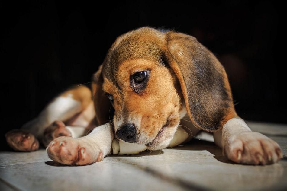 Beagle Beagle Love Beagleoftheday Black Background Close-up Day Dog Lying Down No People One Animal Pets Relaxation