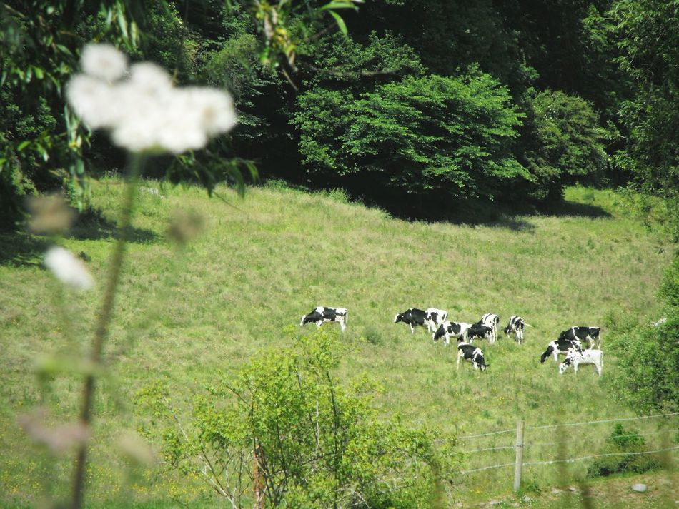 ... Black And White Cows ... Grass Animal Themes Green Color Field Animals In The Wild Rural Scene Landscape Agriculture Pasture Flower Farmland Farmlife Wales MidWales Powys Lifestock Black And White Animals Nature Tree No People Day Mammal Growth