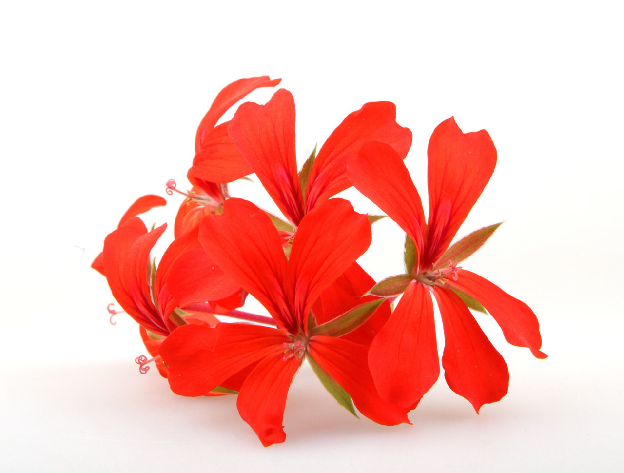 white background, flower, studio shot, petal, red, cut out, flower head, fragility, beauty in nature, nature, close-up, freshness, no people, day