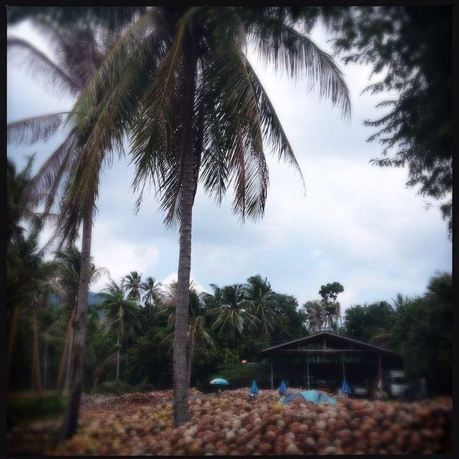Coconut Thailand KohPhangan Kissfromtheworld Iphangan Coconutindustry