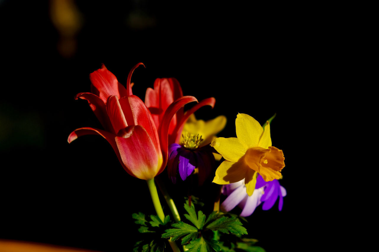 Beauty In Nature Black Background Blooming Close-up Flower Flower Head Fragility Freshness Nature Petal